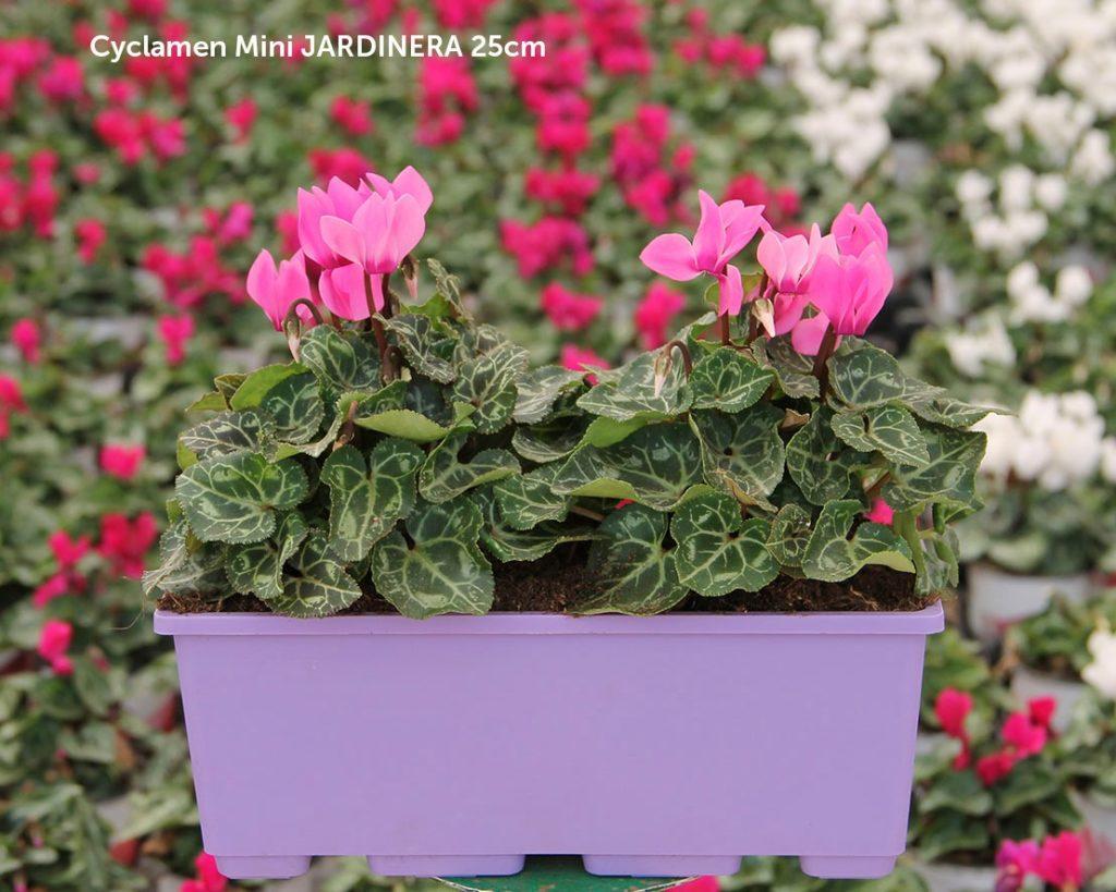 Cyclamen mini jardinera 25 cm