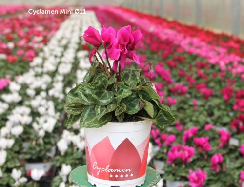 Cyclamen da color al otoño