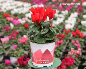 Cyclamen mini maceta 11 cm